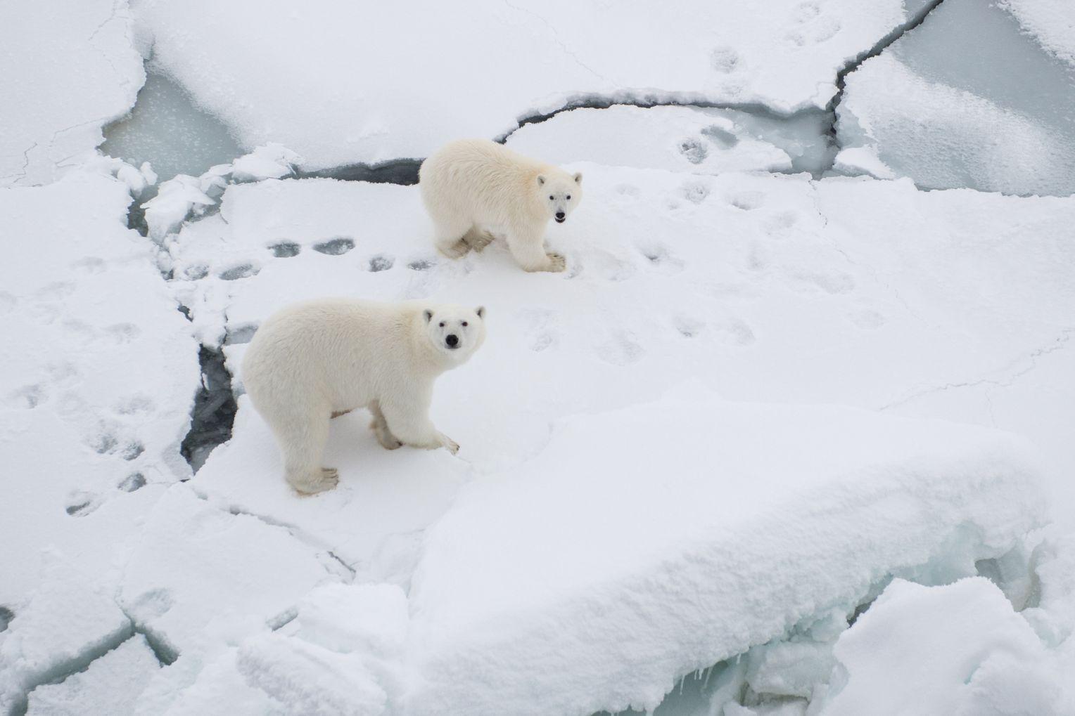 Die einzigen, die sich in dieser Gegend wohlfühlen: Rund um die Uhr muss das Forschungsgelände wegen der Eisbären bewacht werden. Foto:Esther Horvath