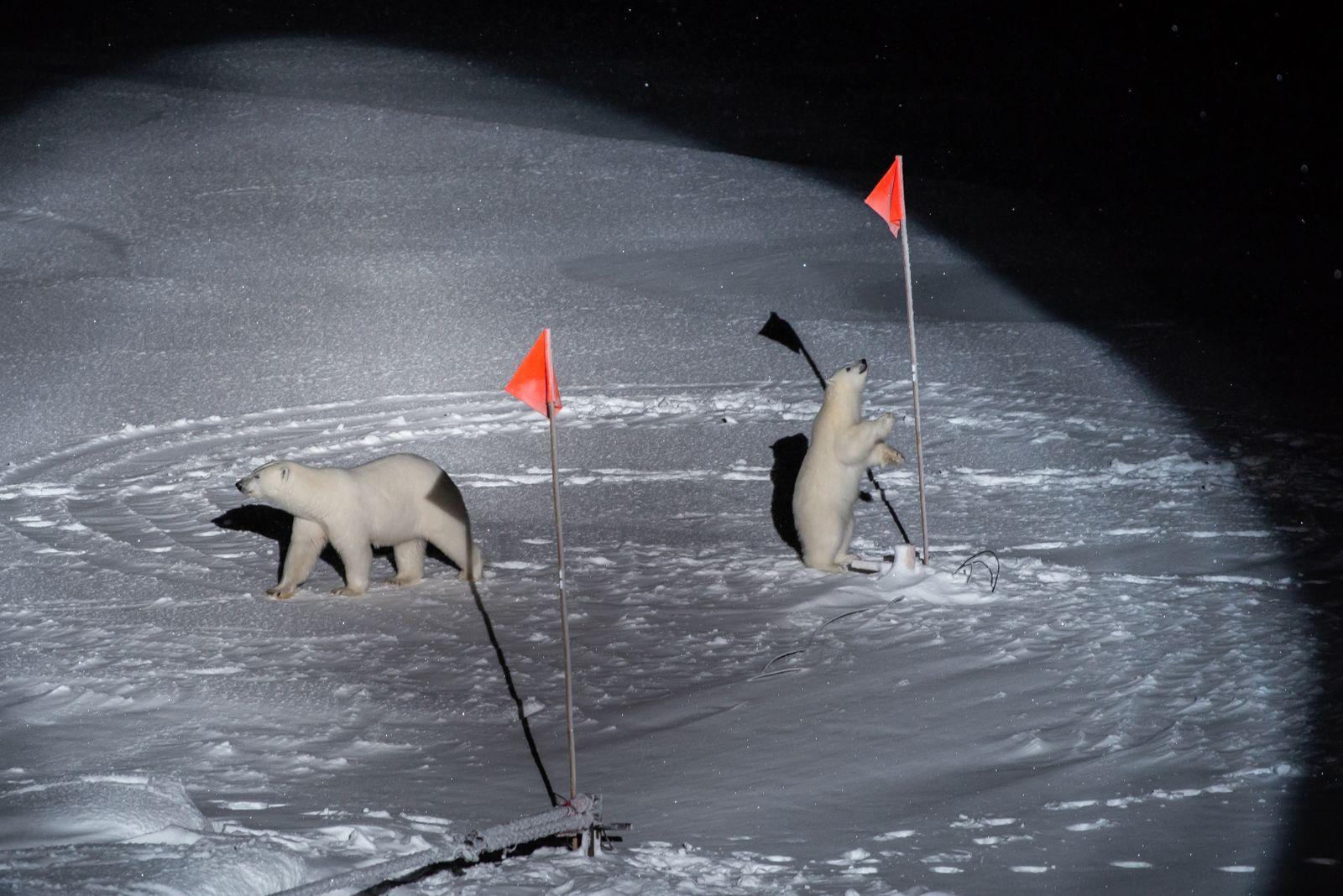 Preisgekrönt: Eisbären inspizieren eine Forschungsstation der Mosaic-Expedition. Für das Foto wurde Horvath mit dem World Press Photo Award in der Kategorie »Umwelt« ausgezeichnet Foto:Esther Horvath
